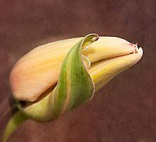 tulipa by lucyliu