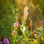 Argiope at Sunrise by er1kksen