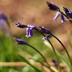 English bluebells by MsheArt2