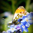 Orange Tipped Butterfly by ElsT