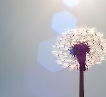 dandelion fluff in the sun with flare by stresskiller