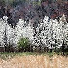 Pear Trees by Polly Peacock