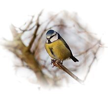 Blue Tit by ipgphotography