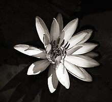 Water Lily © by Ethna Gillespie