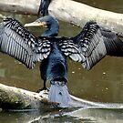 Cormorant by Tom Newman