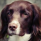 English Springer Spaniel by Anne Staub