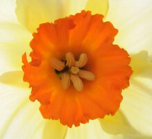 Daffodil by Rupert Connor