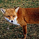 St Anns Fox by Roxy J