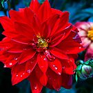 Dahlia and bud in the rain by Bryan D. Spellman