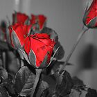 Selective Colored Rose by Sunil Bhardwaj