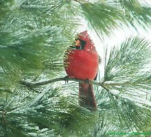 Male Cardinal in Pine Tree by Patty Hagedorn