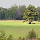 Pine in spring 2014 by Antanas