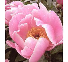 Pink Peony  by alisonelliot