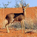 Steenbok by Jennifer Sumpton