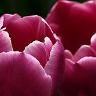 Tulips in Pink by Aileen David