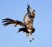Brown Snake Eagle in motion by Antionette