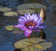 Purple Water Lily by LorriCrossno