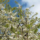 White Tree Blossoms against Blue Sky by kathrynsgallery
