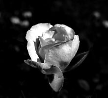 Rose in Black and White by Sandra  Aguirre