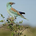 European Roller by Vickie Burt