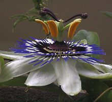 Side View of Beautiful Passiflora Flower by taiche