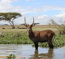 Waterbuck by Kirk Arts