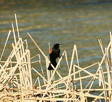 Red Winged Blackbird on Marsh Grass by rhamm