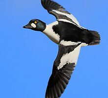 A flying Common Goldeneye by DominoDude