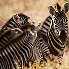 Family - zebra. by brians101