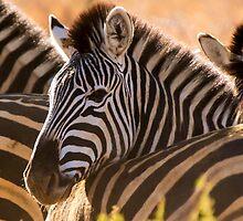 Zebra. by brians101