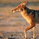 Black-backed Jackal by Jennifer Sumpton