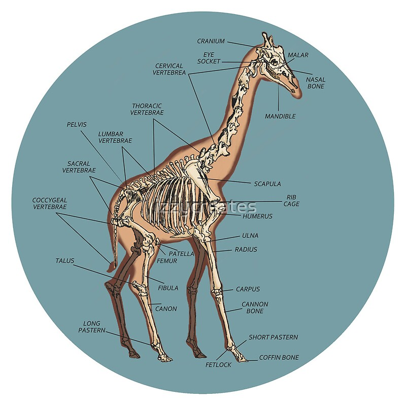 Anatomy Of The Heart Physiology additionally Lab4 as well Polyplacophora besides Ligamentum arteriosum moreover 11966014 Anatomy Of A Giraffe Skeleton. on heart structure labeled