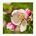 Apple Blossom by M.S. Photography & Art