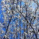 Dogwoods Against a Very Blue Sky by Scott Mitchell