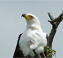 UP CLOSE - AFRICAN FISH EAGLE - Haliaeetus vocifer -Visarend by Magaret Meintjes