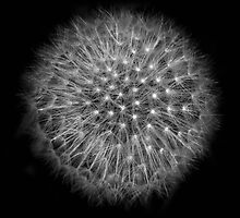 Dandelion by Joey Kuipers