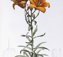 Lilium Bulbiferum (Orange, Fire or Tiger Lily) by Bridgeman Art Library