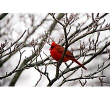 Winter Cardinal - Icy Tree Photographic Print