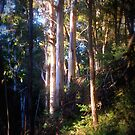Evening light and Tall Timbers by Lozzar Landscape