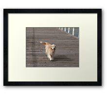 Leading his owner a walk down the Jetty, Henley Beach, Adelaide. Framed Print