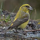 Crossbill by Peter Wiggerman