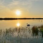 Swan at Sunset by Paula J James