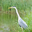 """ Still As The Grey Heron "" by Richard Couchman"