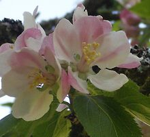 Apple Blossom Time by Jacki Stokes