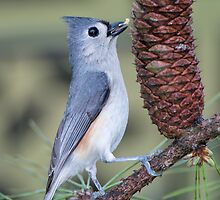 Tufted Titmouse at the Pine Cone Cafe by Bonnie T.  Barry