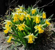 Yellow Daffodil flowers by OrchidSGN