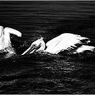 Pelicans Berg River by Alan Robert Cooke