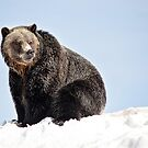 Portrait of a Grizzly by Tracy Friesen