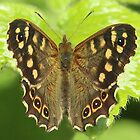 Sitting pretty - Speckeld Wood butterfly by Rivendell7