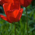 Tulip into light by StephenRB